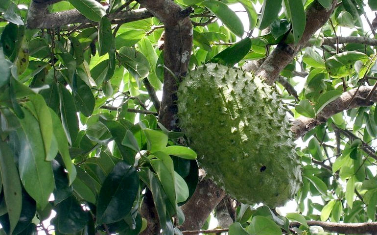 Local Soursop Plant for Prostrate Ailment