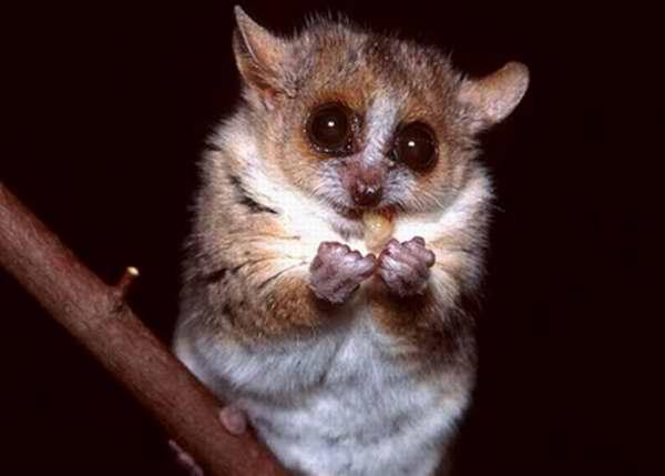 Lemur ratón de Gerp