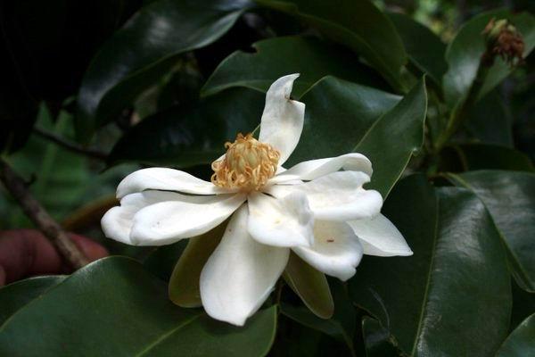 Desde hace más de una década, se desarrolla un proyecto de conservación del mantequero (Magnolia cubensis acunae subsp. Imkhan.) en el Paisaje Natural Protegido Topes de Collantes, en la región central de Cuba