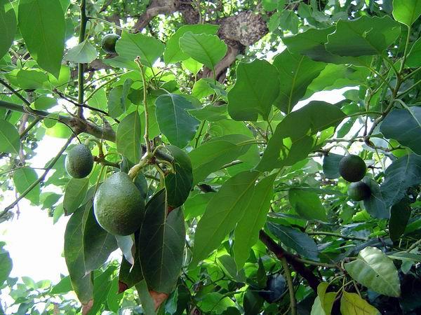 infusiones acido urico remedios caseros para bajar el acido urico y trigliceridos que frutas tienen acido urico