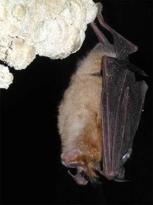 Cambio climático amenaza a los murciélagos