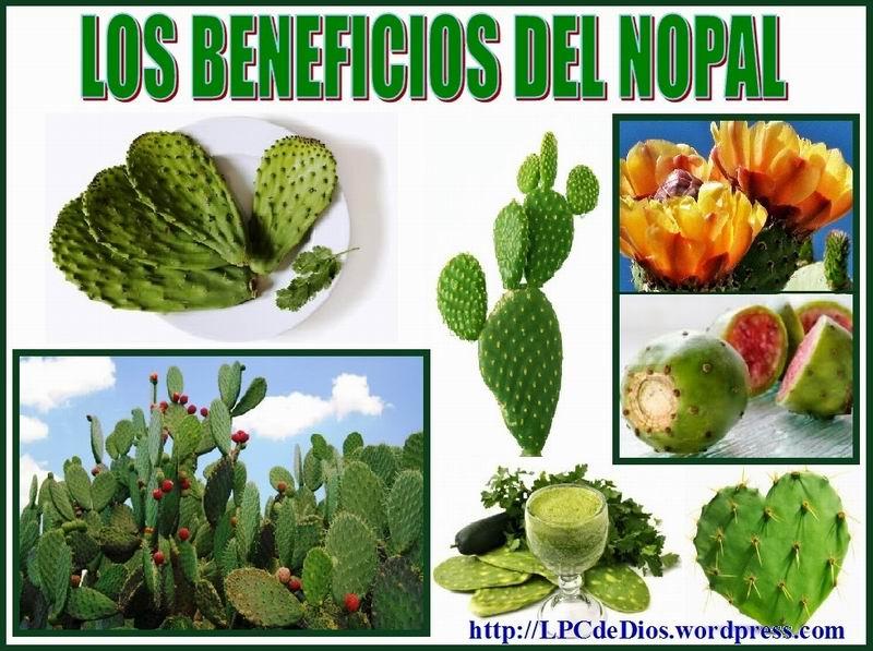 La planta en México conocida como nopal es la tuna en Cuba.