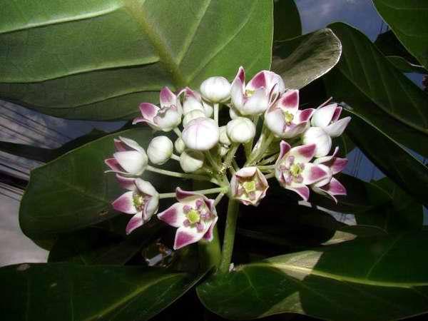 Orquídea invasora de la especie Oeceoclades maculata