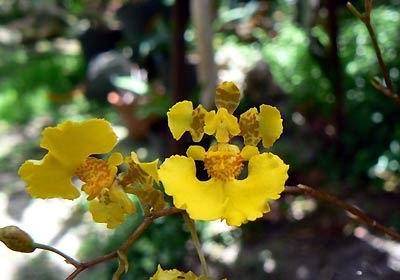 Orquídea pleurotalis