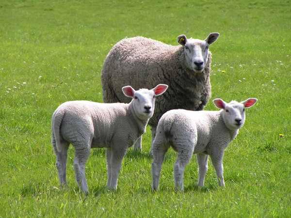 Las ovejas son egoístas