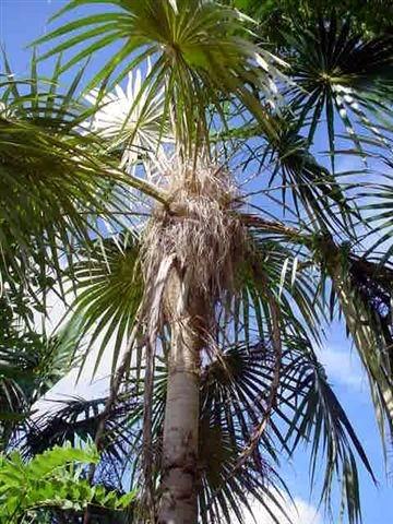 Palma de guano barbudo. Foto: Mireya Ojeda