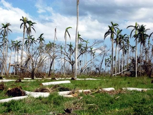 Las palmas, entre las especies más dañadas en Camagüey.