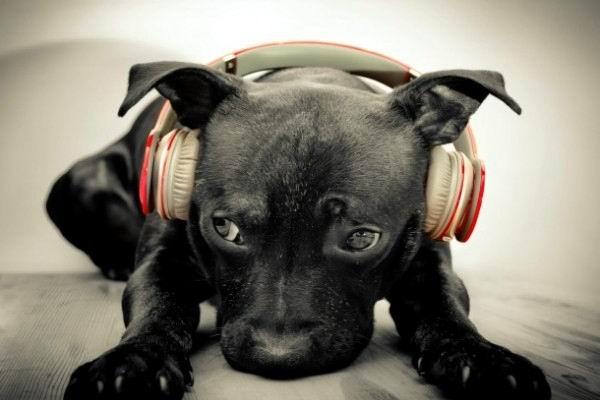 A los animales domésticos les gusta escuchar música