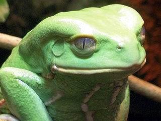Descubren compuestos anticancerígenos en la piel de las ranas