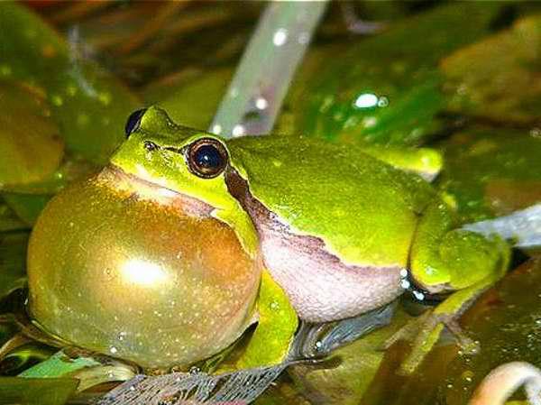 Estudian comportamiento sexual de las ranas arbóreas