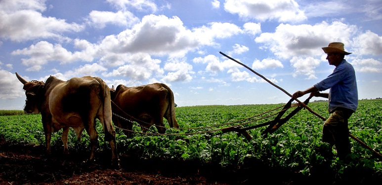 El yugo y el frontil en los campos cubanos (+Fotos)