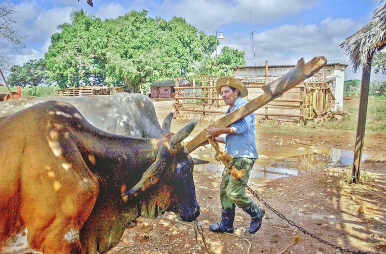 El yugo y el frontil en los campos cubanos