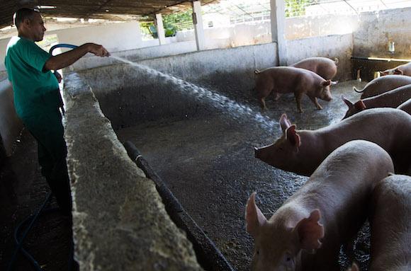 Sancti Spíritus a la vanguardia en mejores renglones de la producción de carne y el mantenimiento de las áreas porcinas.