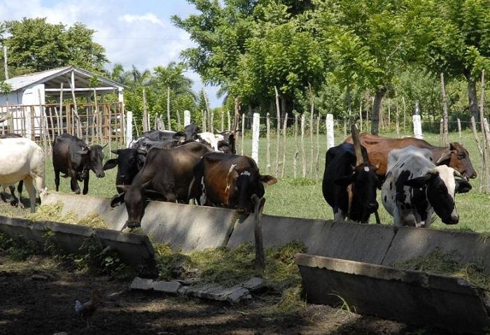 Apuntan crecimiento en producción de carne y leche en Cuba