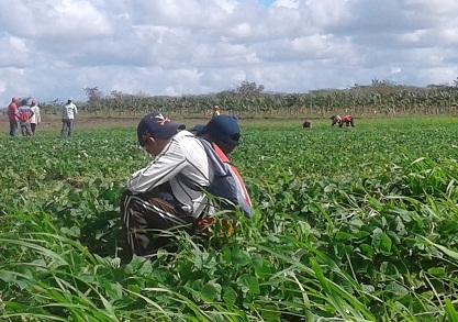 Nuevas máquinas surcan la campiña cubana
