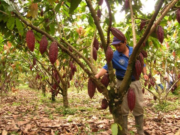 Cienfuegos cultiva plantaciones de cacao y coco (+Audio)