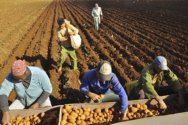 Progresa plantación de papa en Mayabeque