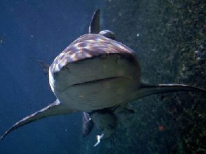Shark sinks boat, drags it to open sea in Eastern Cuba