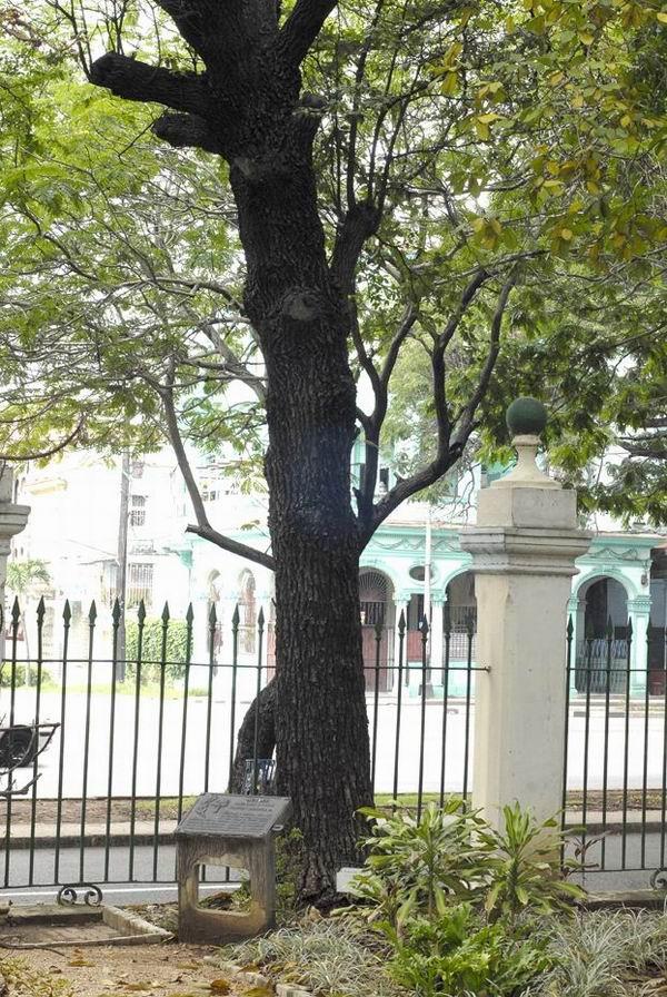 El majestuoso ejemplar, fue trasladado en 1839, desde el primer jardín botánico de la capital cubana. Foto: Luis Pérez