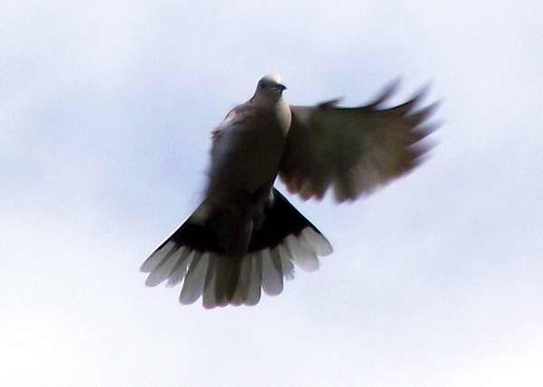 Una paloma en el viento Foto Abel Rojas