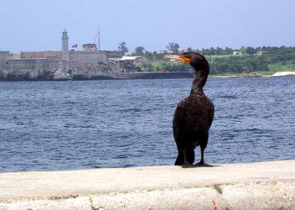 Cormorán, ave acuática en el muro del Malecón