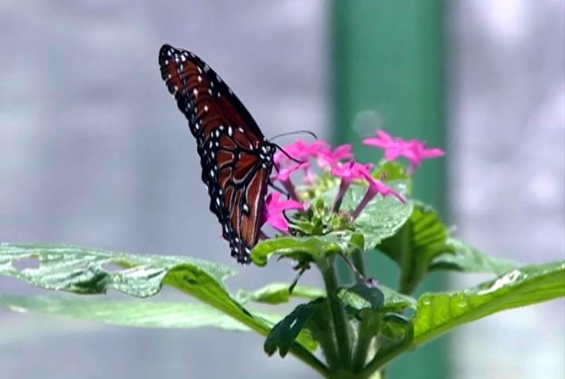 Mariposa criada en el Mariposario de la Quinta de los Molinos, único en el país