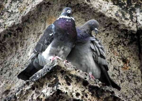 Palomas: gráciles y elegantes aves. Foto Abel Rojas