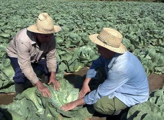 Lo que mejor se me da son las cebollas, y las coles, precisa el agricultor José Luis Gutiérrez. Foto: Aroldo García