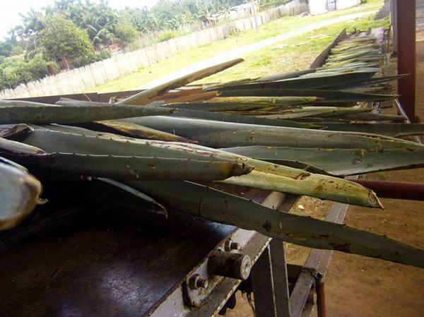 Cuba to rescue its Henequen Industry