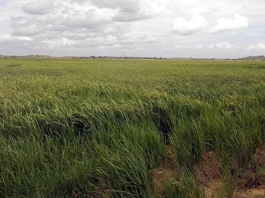 Sustituyen importación de arroz los campesinos de Cienfuegos