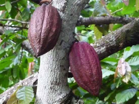Cacao de Baracoa