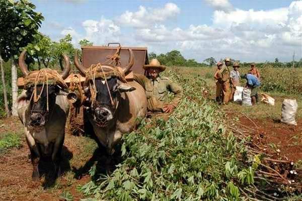 Los campesinos cubanos se agrupan en UBPC, CCS, CPA, granjas estatales o se convierten en productores individuales. Foto Jos� Cabrera Peinado