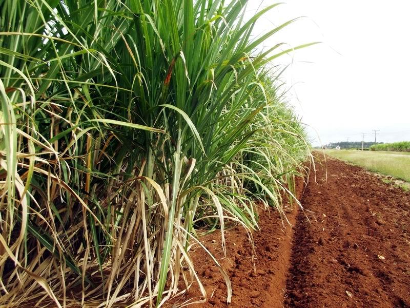 Camagüey prepara la zafra azucarera (+Audio)