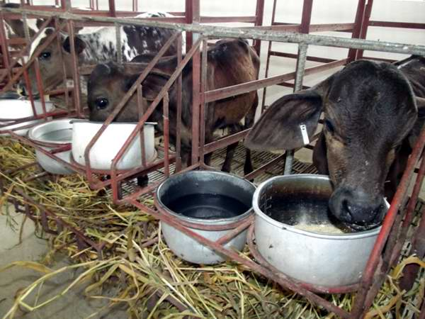 Centro de recría artificial de terneros y de animales. Foto: Miozotis Fabelo Pinares