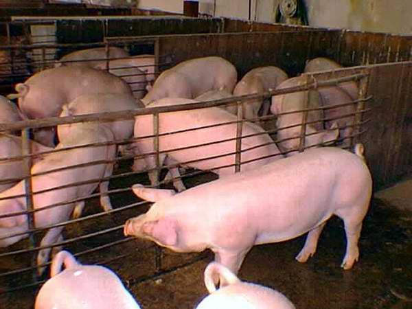 Promueve Cuba alianzas para desarrollo de la Porcicultura
