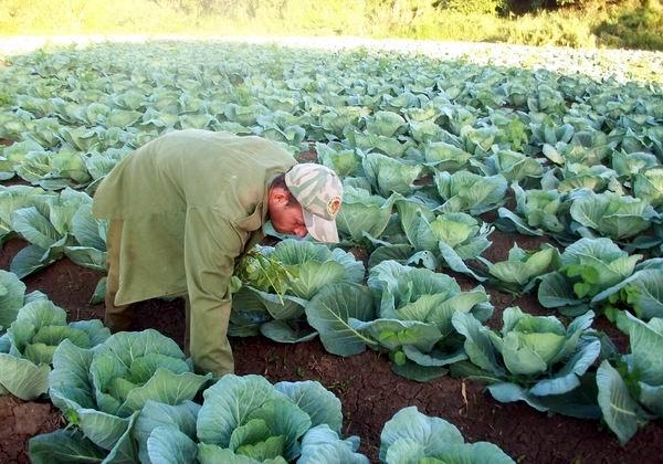 En Aguada, campesinos cienfuegueros garantizan la alimentación