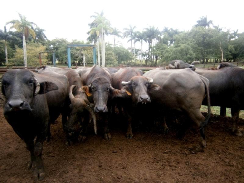 Cienfuegos desarrolla la cr�a de b�falos