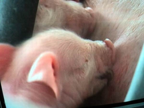 Porcicultores cubanos de feria