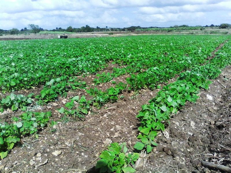 Atienden cultivos de primavera en Mayabeque