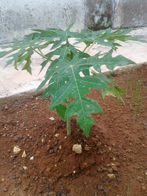 Garantizan siembras de frío en unidad de Melena del Sur