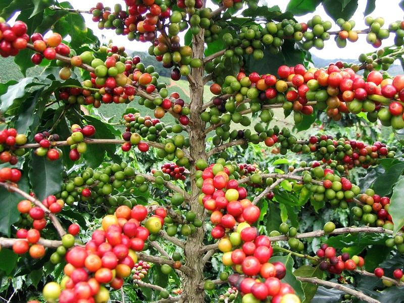Plantaciones de café arábiga