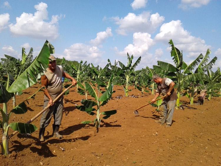 Intensifican esfuerzos en el cienfueguero polo agrícola Venero