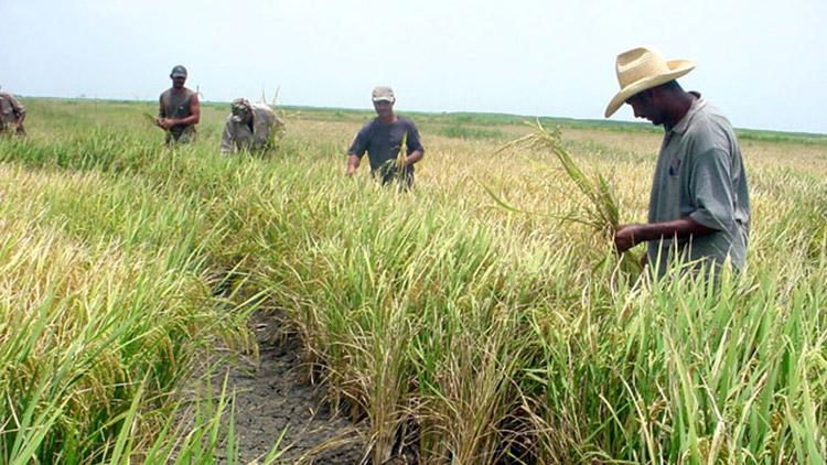 Sembrarán en Cuba más de 130 mil hectáreas de arroz en próxima campaña