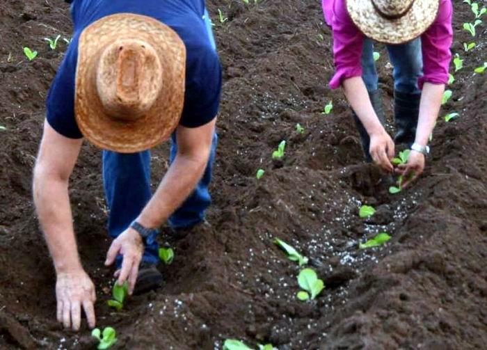 En marcha preparativos para venidera cosecha tabacalera en Pinar del Río