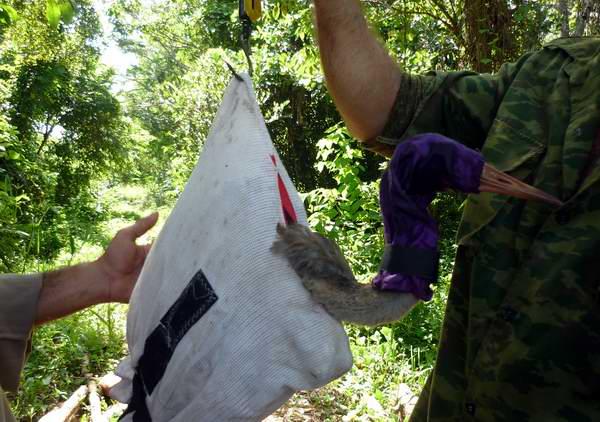 Protegen y conservan la Grulla cubana en Ciego de Ávila