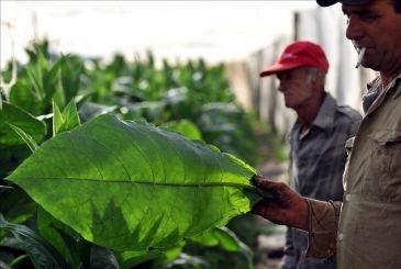 Logra Cuba nuevo cultivo de tabaco virginia resistente a enfermedades