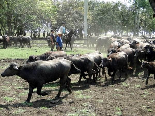 Cienfuegos con mejores indicadores en desarrollo de búfalos