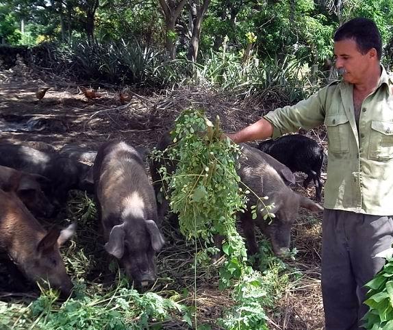 Moringa Ole�fera en la alimentaci�n de animales