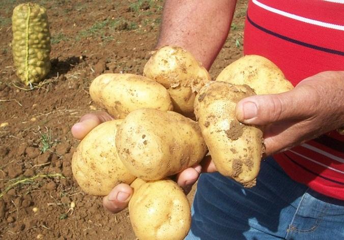 Inició cosecha de papa en la Empresa Agropecuaria Horquita