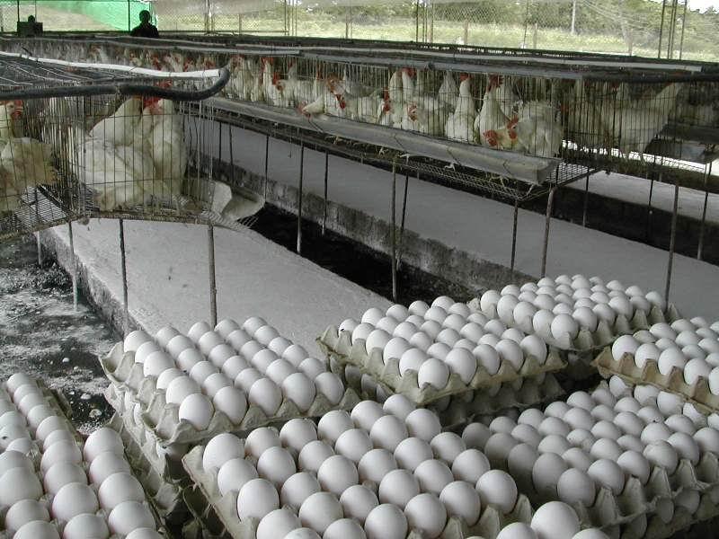 Comprometidos trabajadores avícolas  avileños  en superar la producción de huevos